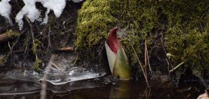 skunk cabbage in march