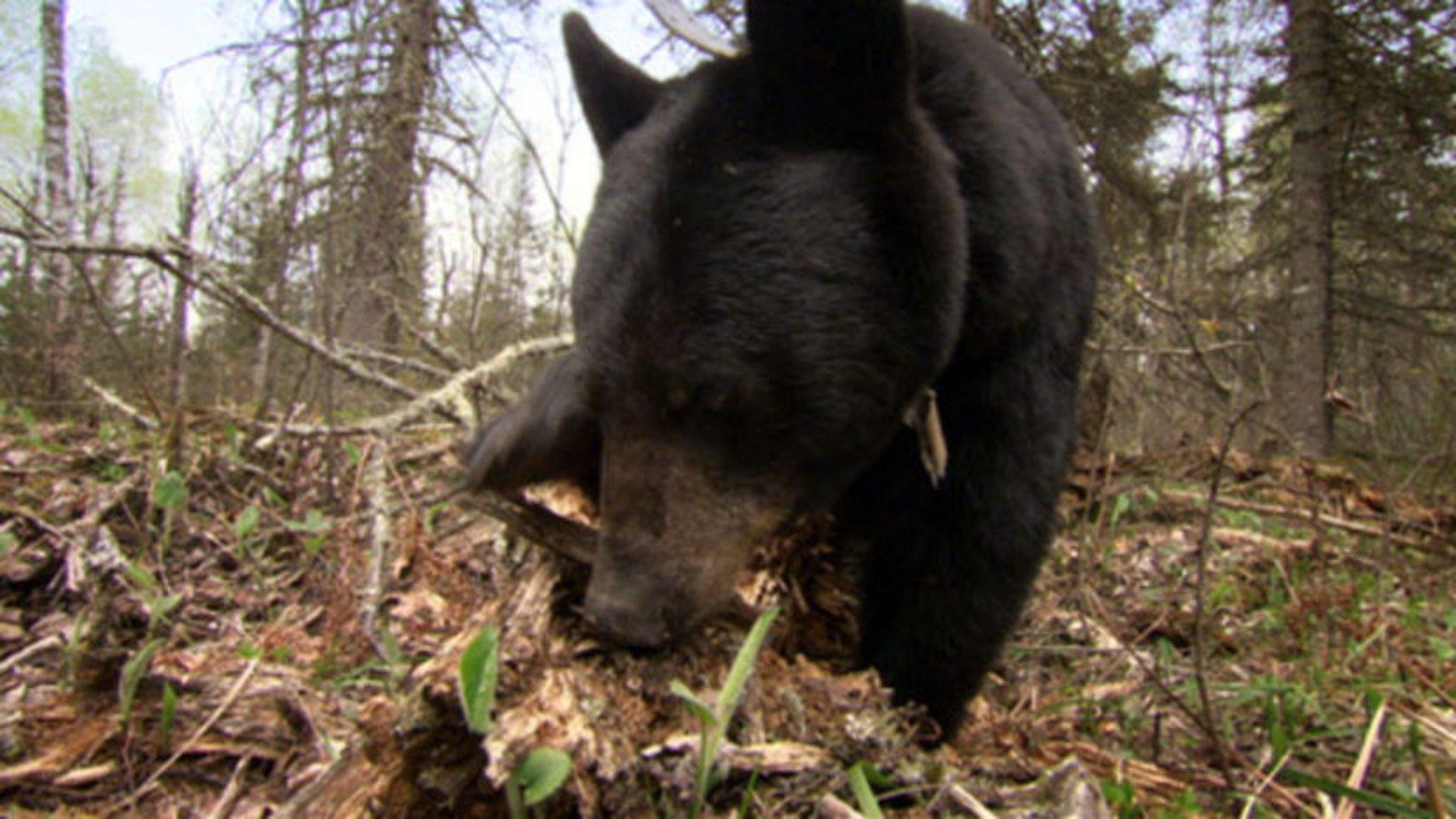 "LLCT Movie Night Series presents ""Bearwalker of the Northwoods"""
